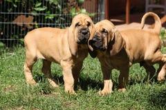 Ładni bloodhound szczeniaki Zdjęcie Stock