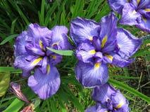 Ładni Purpurowi irysów kwiaty Zdjęcia Royalty Free