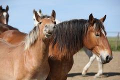 Ładni szkiców konie patrzeje ciebie Zdjęcie Stock