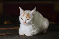 Ładny Azjatycki kot Zdjęcie Royalty Free