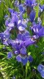 Ładny błękit kwitnie w mój ogródzie połysk iryses Obrazy Royalty Free