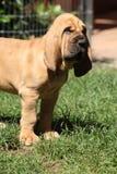 Ładny bloodhound szczeniak Zdjęcie Royalty Free