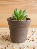 Żadny Cierniowy kaktus Zdjęcia Stock