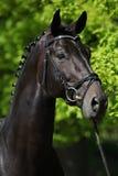 Ładny czarny holenderski warmblood z uzdą Zdjęcie Royalty Free