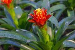 Ładny czerwony bromeliad kwiat Zdjęcie Royalty Free