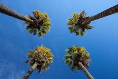 Ładny cztery drzewka palmowego w niebieskim niebie Zdjęcie Stock