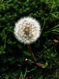 Ładny dandelion zdjęcie royalty free