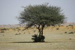 Ładny drzewo w pustyni Zdjęcie Royalty Free