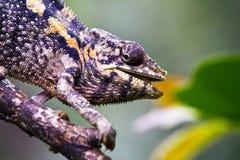 Ładny kolorowy kameleon, cameleon jaszczurka Obrazy Royalty Free