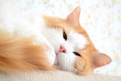 Ładny kot Obrazy Royalty Free
