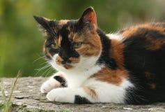Ładny kota Felis catus odpoczywa na skale na Orkney, Szkocja Fotografia Royalty Free