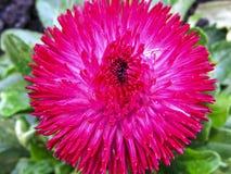 Ładny menchia ogródu kwiatu aster Makro- fotografia royalty free