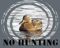 ŻADNY ŁOWIECKI podpis z delikatnej Mallard kaczki żeńskim dopłynięciem na spokoju nawadnia Zdjęcia Royalty Free