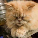 Ładny perski kot Fotografia Stock