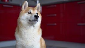 ?adny pies, siedzi na pod?ogowych spojrzeniach zestrzela i ruchy jego g?owa i oczy Shiba inu zbiory