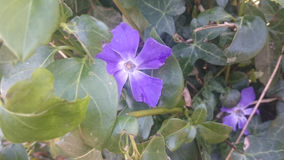 Ładny purpura kwiat Obraz Royalty Free