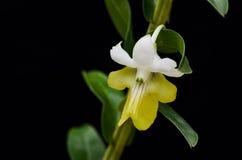 Ładny storczykowy kwiat Obraz Royalty Free