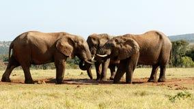 Żadny wody Dzisiaj - afrykanina Bush słoń Fotografia Royalty Free