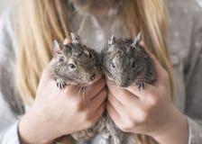 Ado de jeune fille tenant deux écureuils communs de degu de petits animaux dans des mains Portrait en gros plan des animaux famil Photographie stock libre de droits