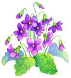 adobe korekcj wysokiego obrazu photoshop ilości obraz cyfrowy prawdziwa akwarela Delikatny kwiatu krzaka lasu fiołek Zdjęcia Stock