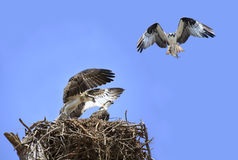 Adolecent Osprey in the Nest While Parent Brings Lunch Stock Photos