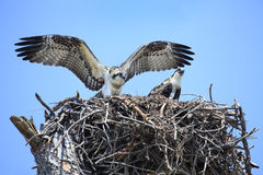 Adolecent Osprey Test Their Wings in the Nest Royalty Free Stock Photos