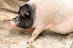 An adolescence black and white pot bellied pig is walking on the floor stock photo