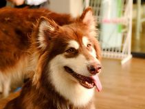 An adolescence brown and white Siberian Husky dog is sitting down on the floor. Close up picture of an adolescence brown and white Siberian Husky dog is sitting royalty free stock photos