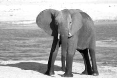 Solitary young elephant standing on the plains in black and white, Hwange National Park, Zimbabwe royalty free stock image