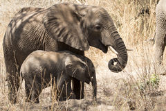 Adolescent and baby African elephants eating royalty free stock photos