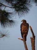 Adolescent Bald Eagle - Perch Over East Bay Royalty Free Stock Photos