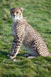 Adolescent Cheetah Cub Stock Photo