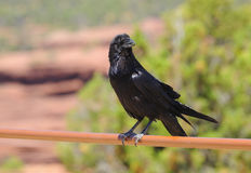 Adolescent Chihuahuan raven Royalty Free Stock Photography