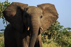 Adolescent effronté d'éléphant photos stock