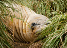 Adolescent Elephant Seal Stock Photos