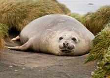 Adolescent Elephant Seal. In grasses; Macquarie Island stock photo