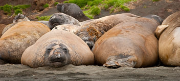 Adolescent Elephant Seals Royalty Free Stock Image