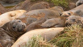 Adolescent Elephant Seals Stock Photos