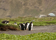 Adolescent Gentoo penguins Stock Images