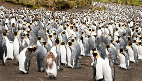 Adolescent King penguin amongst adults Royalty Free Stock Photography