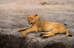 Adolescent lion resting on a sandbank with trces of blood around it`s mouth after a recent kill in Hwange, Zimbabwe, Southern Afri. Young wet lion  Leo Panthera Stock Photography
