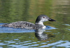 Adolescent Loon on the Lake Royalty Free Stock Photography