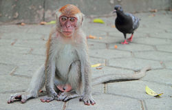 Adolescent macaque is sitting on asphalt. Batu caves Royalty Free Stock Photo