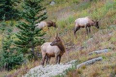 Herd of elk in Rocky Mountain National Park. Adolescent male elk  herd with velvet on antlers Stock Images