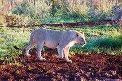 Adolescent male lion Stock Images