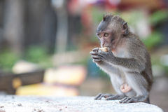 Adolescent  monkey eating a peanut Royalty Free Stock Photo