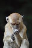 Adolescent monkey grooms himself Royalty Free Stock Photos