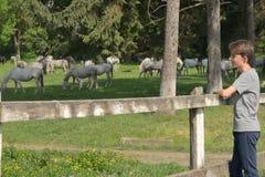 Adolescent observant aux chevaux Photographie stock