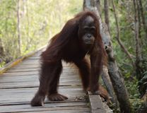 Adolescent Orangutan. A young male orangutan stands and stares down the camera lens in Borneo's Tanjung Putting national park Royalty Free Stock Photos
