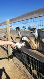 Adolescent ostriches. Young ostriches at feeding time royalty free stock photography